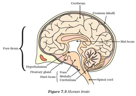 draw a diagram of human brain and label on it cerebrum , cerebell ...