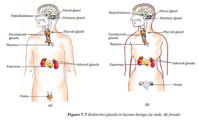 Biology X | Control and Coordination | HORMONES IN ANIMALS - CBSE ...